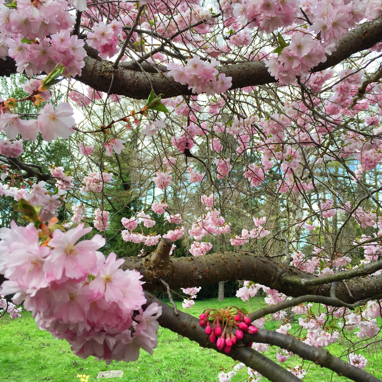 Kirsebærtræer i Nordvest. Hele byen er vild med det:)